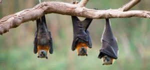 El murciélago encontrado en el alto de la ciudad tenía rabia